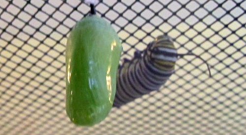 Chrysalis Formation