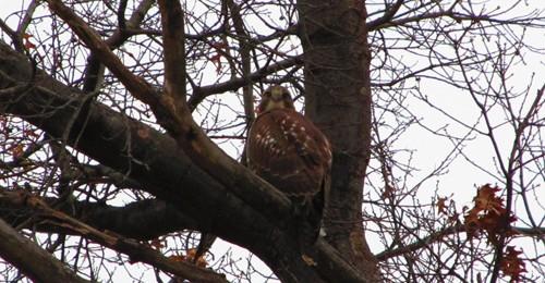 Neighborhood Hawks