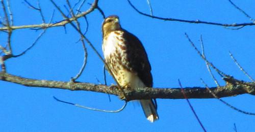 Hawk Stalking
