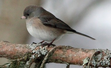Mystery junco